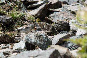 Fringuello alpino