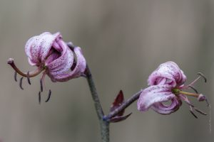 Lilium martagon