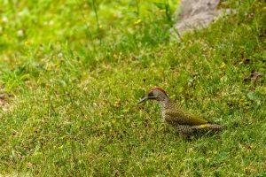 Picchio verde maschio - immaturo