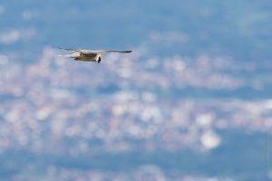 Falco cuculo immaturo - (ID Lorenza Piretta)
